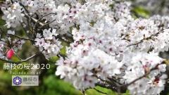 藤枝の桜2020
